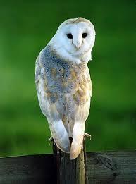Barn Owl Sounds Owls Living With Wildlife Washington Department Of Fish U0026 Wildlife