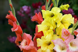 gladiolus flowers how to grow gladiolus flowers