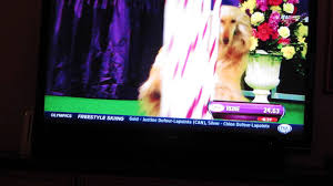8 month old afghan hound afghan hound agility at westminster youtube