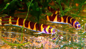 tropical fish keeping popular freshwater tropical fish species