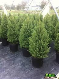 alberta spruce 25 00 njplantsandtrees 1