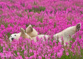 canada flowers canadian photographer captures polar bears in flower