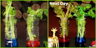 how plants absorb water celery science experiment craft to art