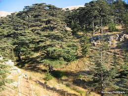Lebanon Flag Tree Reminiscence Of A Journey To The Land Of Cedars U2013 Lebanon Part 1