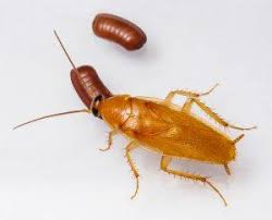 light brown roach looking bug 34 amazing cockroach facts secrets you want to hear pestwiki
