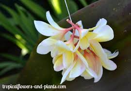 Plumerias How To Make A Spiral Plumeria Lei