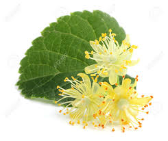linden flower linden flowers with leaf stock photo picture and royalty free