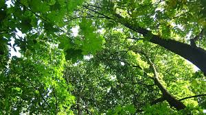 free photo tree tops deciduous trees free image on pixabay