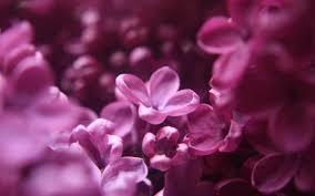 beautiful plants flower lilac dream floral plants pretty flowers purple pink
