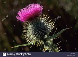 scottish thistle the flower emblem or badge of scotland uk