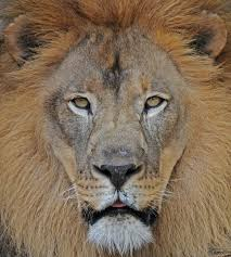 beautiful animals safaris amazing lions big cats africa u0027s