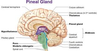 What Is The Main Function Of The Medulla Oblongata 1 Brain Anatomy Btt Sose 2017 Tum Wiki