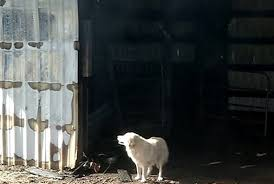 dog barn mother dog who lost puppies in a barn fire adopts orphan puppies