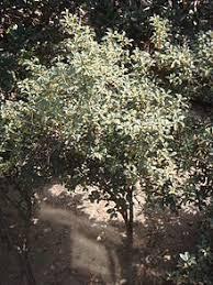 osmanthus fragrans
