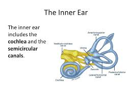 Inner Ear Anatomy And Physiology The Ear The Physiology U0026 Function Of The Ear Anatomy Of The Ear