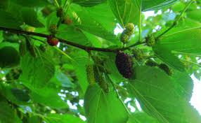 goumi berries observa