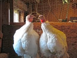 francestown farmer has spent more than 30 years raising turkeys