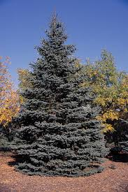 colorado native plants list blue spruce wikipedia