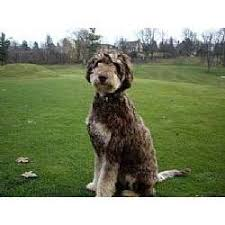 australian shepherd for sale los angeles aussiedoodle puppies for sale from reputable dog breeders