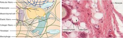 Anatomy And Physiology Cells And Tissues Connective Tissue Supports And Protects Anatomy And Physiology
