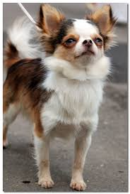 long hair chihuahua hair growth what to expect chihuahua lifespan average life expectancy of the chihuahua