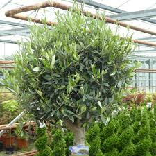 buy standard olive trees olea europa delivery by