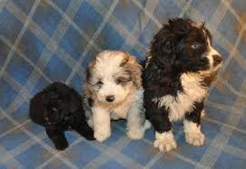 mini australian shepherd 7 weeks aussiedoodle puppies for sale at pecan place kennels