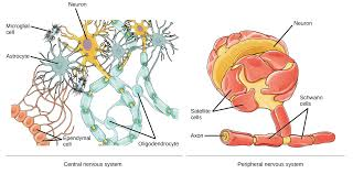 Which Cell Helps In Movement Of Bones Anatomy Of A Neuron Video Human Biology Khan Academy