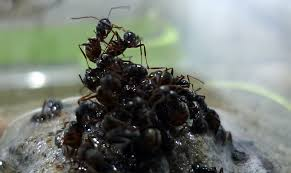 how ants make rafts to save the queen u2013 national geographic