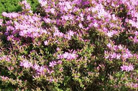 Identify Flowers - can anyone identify this pinkish purple flower bush flowers forums