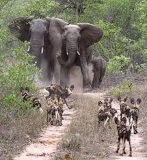 african elephants come face to face with one of africa u0027s most