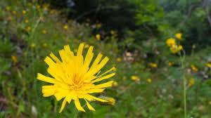 extinct u0027 flower found near peak district walking route bbc news