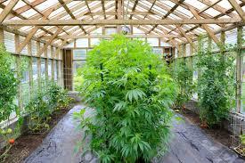 cannabis im garten marihuana cannabis hanf pflanze w磴chst im inneren des gr禺nen