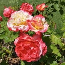 san jose municipal rose garden 2214 photos u0026 341 reviews parks