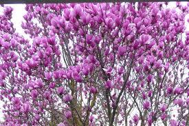 magnolia tree flower meaning flowers turning brown bloom