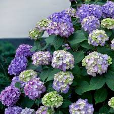 purple hydrangea endless summer 2 gal bloomstruck hydrangea macrophylla live