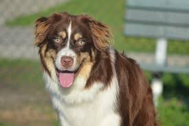 australian shepherd white the colorful breed central aussie rescue and support