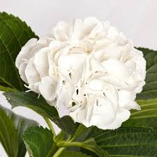 Bulk Hydrangeas White Hydrangeas U2013 Flowers By Gallon E U0026i