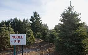 christmas trees are they really sustainable telegraph