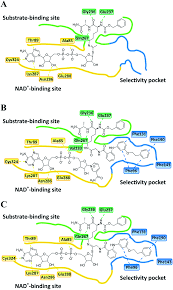 potent mechanism based sirtuin 2 selective inhibition by an in