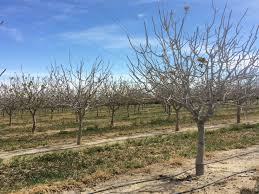 winter chill update december 2016 the almond doctor