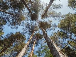 scottish pine trees in forest stock image image 31906141