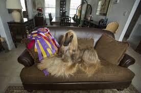 afghan hound apartment va beach afghan hound wins best in breed in n y pets