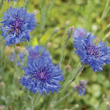 heirloom u0026 organic flower seeds