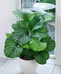 low light houseplants air freshening plants calathea orbifolia pflanze für schattigen