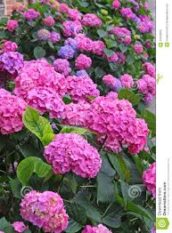 Purple And Blue Flowers Flower Bed Full Of Purple Hydrangea Flowers And Pink And Blue