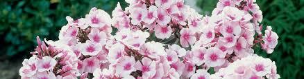 phlox flower phlox perennial phlox creeping phlox american