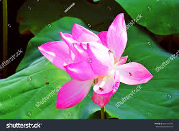 australian native aquatic plants native tropical asia queensland australia commonly stock photo