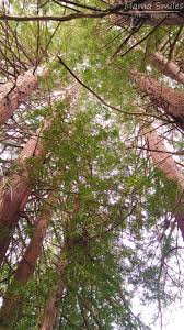 california redwood tree facts for kids