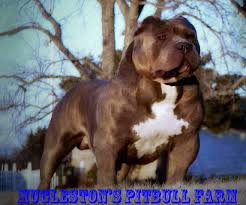 american pitbull terrier 1 a muglestons pitbull farm pitbulls for sale pit bulls for sale